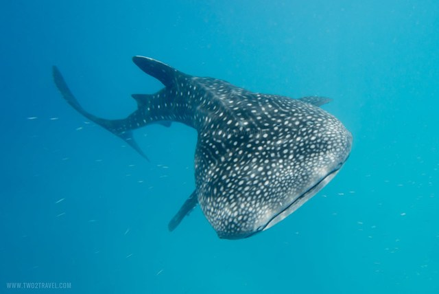 Whalesharks of Oslob, Cebu | Photos by Two2Travel.com