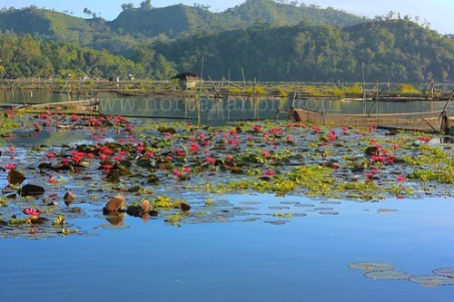 2 Lake Sebu lotuses