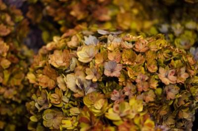 double hydrangea flowers antique