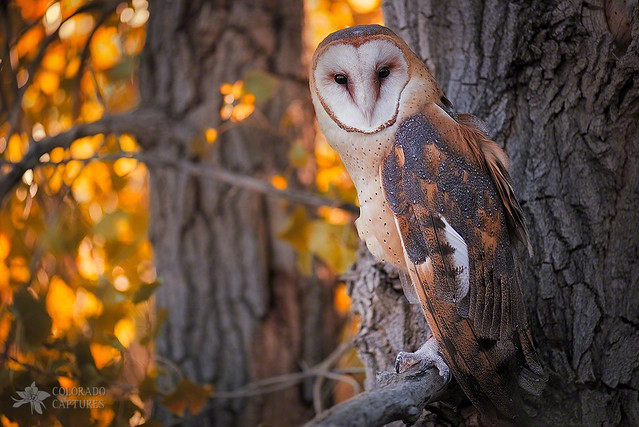 Full Screen Desktop Fall Wallpaper Photographing A Barn Owl On His Autumn Perch Flickr