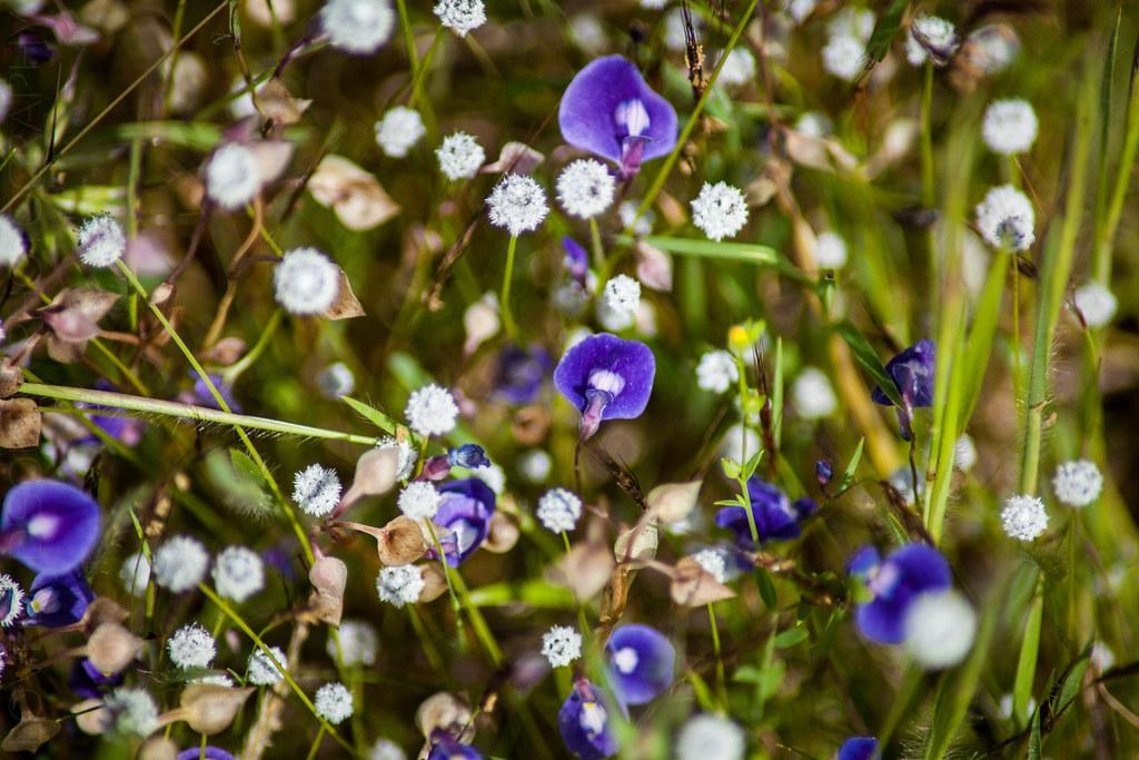 Utricularia Purpurascens - Kaas Plateau
