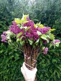 紫色的丁香花