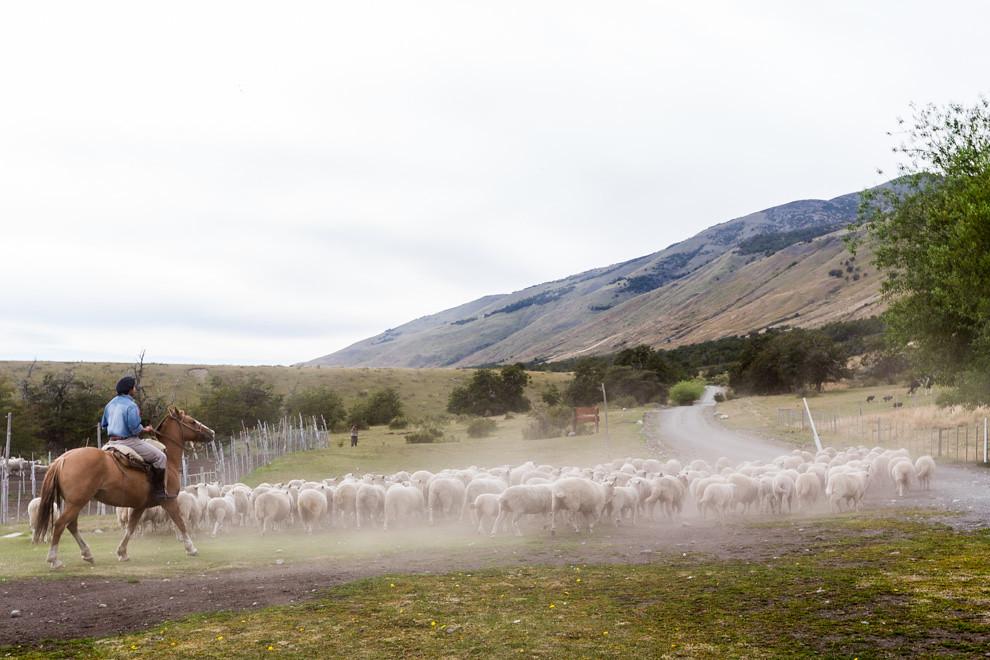 Un gaucho arrea a las ovejas en una demostración de su destreza y la de su caballo, en una estancia de turismo ecológico en la Patagonia argentina. (Tetsu Espósito).