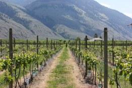 Kim's photo of vineyard