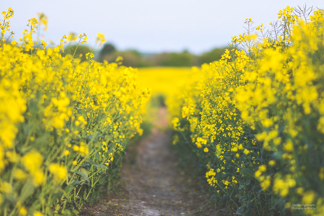 Walking through the rapeseed blossom