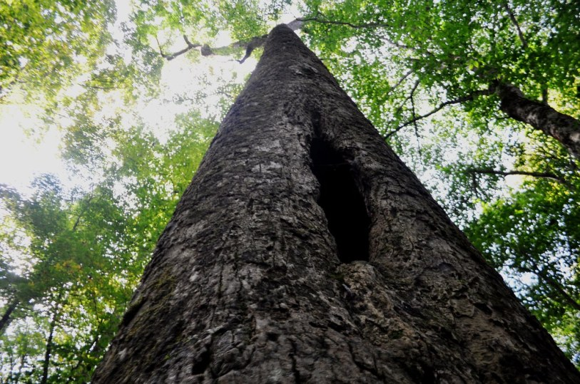 Is Anything Living in This Tree? Joyce Kilmer Memorial Forest, North Carolina, Oct. 9, 2014