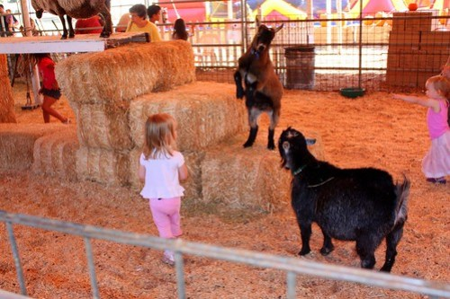 fighting goats, stupid child