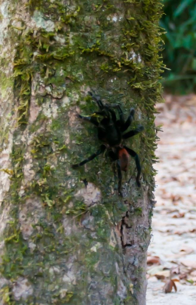 Tarantula in Tikal