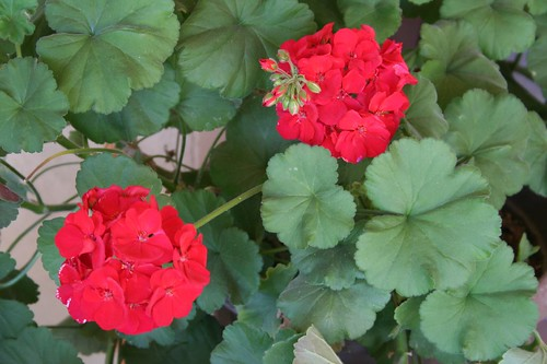 red summer geraniums, Casa Luna