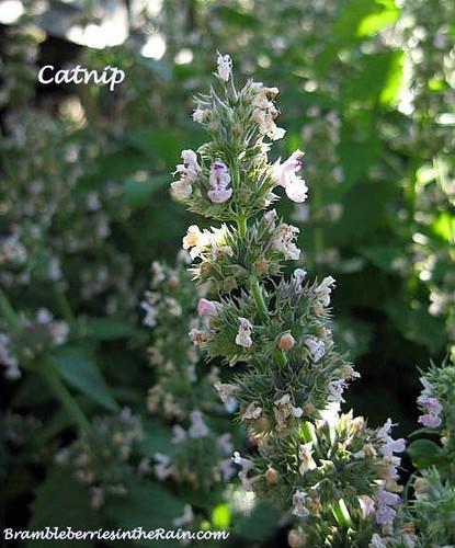 Flowering Catnip