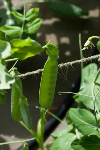 Humble Garden: Peas in the sun