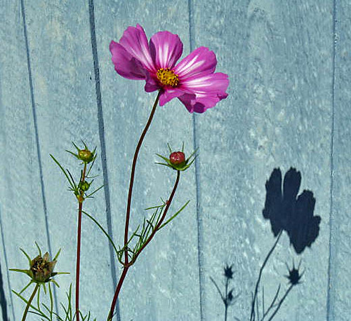 The sun was casting Cosmos shadows on the wall of my house and I thought it was so pretty.