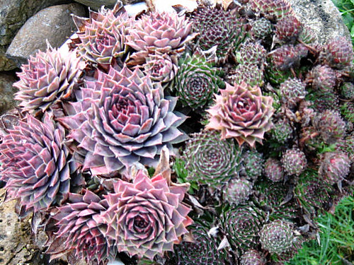 Hens and Chicks in Fall