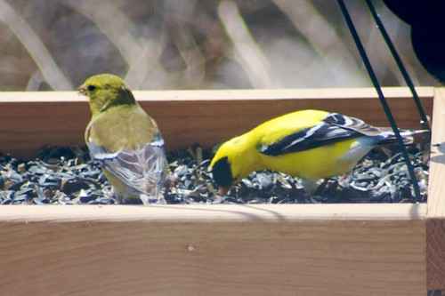 Goldfinches, Male and Female