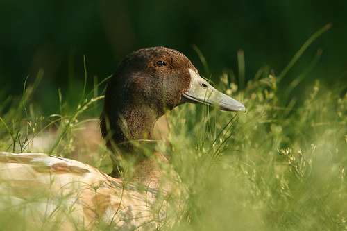 brown duck in grass