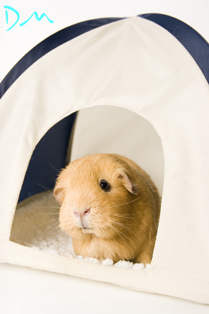 guinea pig photo shoot 18