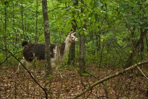 Shy Misty: Newly adopted llama