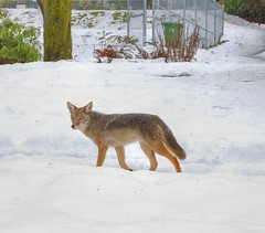 Coyote sizing me up