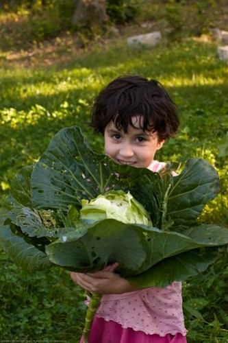 Humble Garden: KD and cabbage