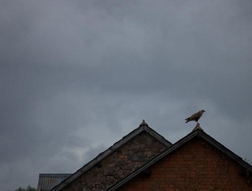 Buzzard on Roof