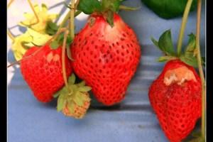 [苗栗]大湖 吳家溫室草莓農場
