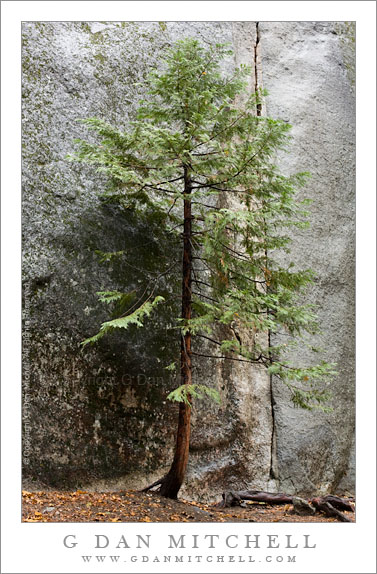 Tree and Cliff, Yosemite Valley