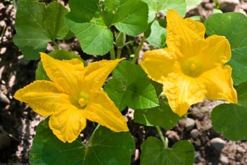 Humble Garden 2008: squash blossoms