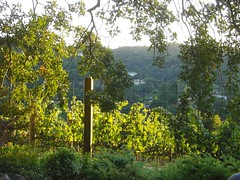Private vineyard in Lafayette, California