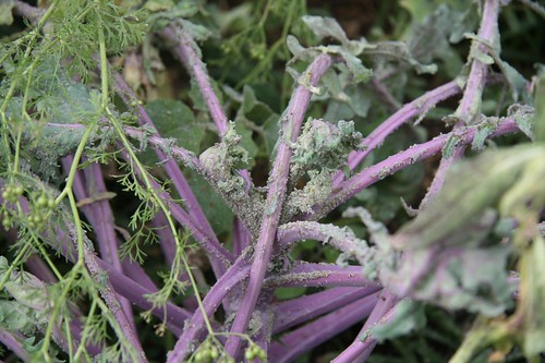 Kale and Aphids