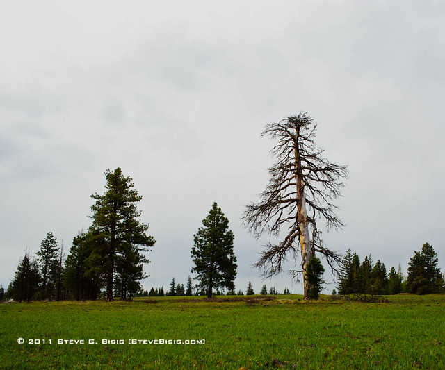 Trees on Tamarack Ridge - Kittitas County, Washington