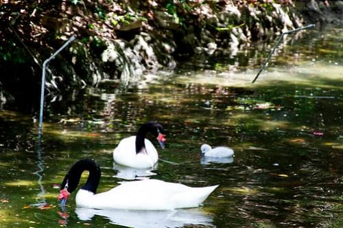 Black Neck Swans