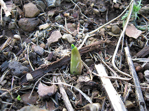 Garlic Sprouting
