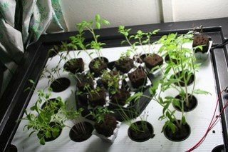 Aeroponics Seedlings - 25 days