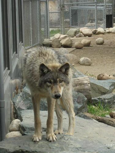 hi wolfie