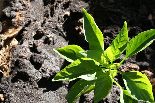 2-7-09: Front Veggie Garden Planted