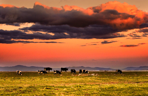 Cool as a cow by aftab..