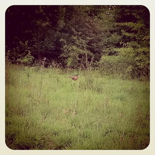 Vanmiddag een fazant in het wild gespot...