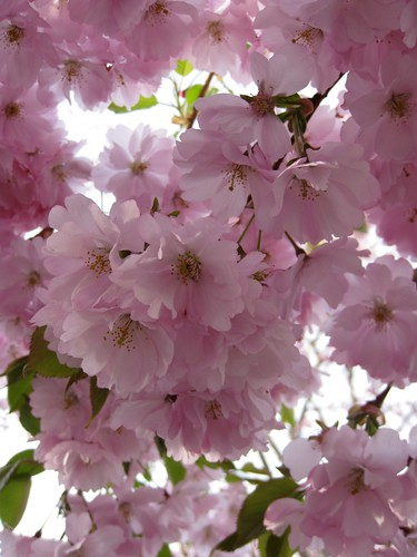 Körsbärsblom i Kungsträdgården