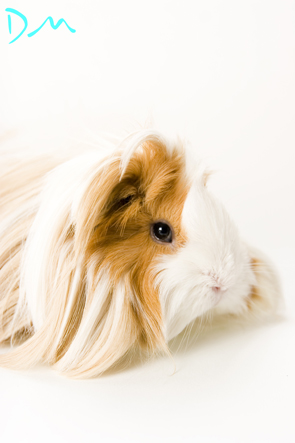 guinea pig photo shoot 02