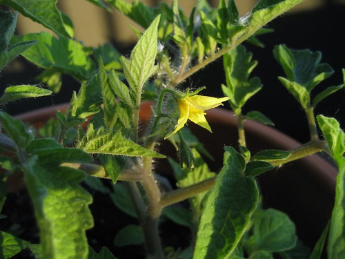 roma tomato blossom 5.30.09