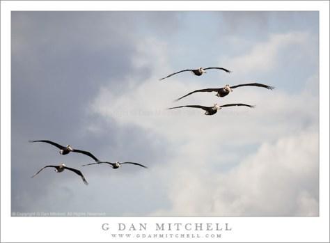 Six Pelicans