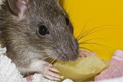 """""""Nice rats, nasty rats"""""""