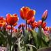 Tulipanes con cielo azul