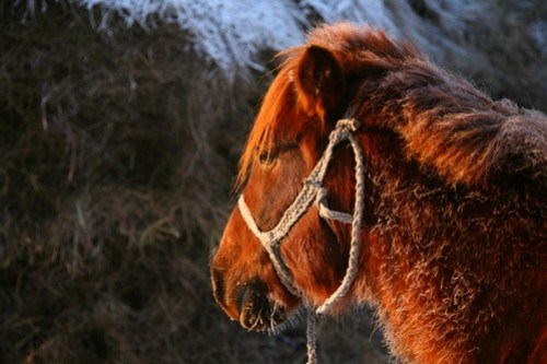Race-Winning Stallion, Mongolia