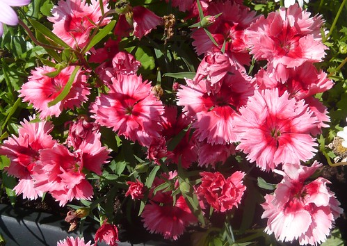Growing Pinks for Cottage Gardens Gardeners Tips