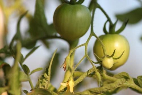 early girl tomato - aug 11