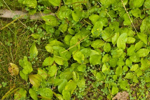 to be ID'd ground cover (plantains?)