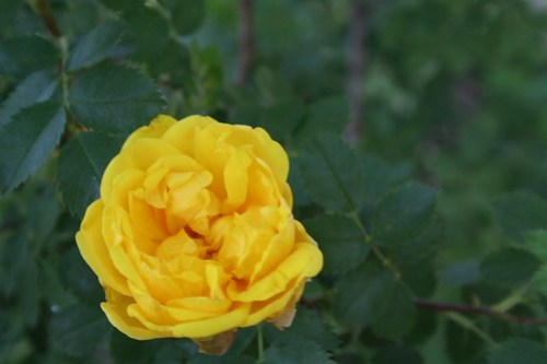 yellow rose of Flagstaff