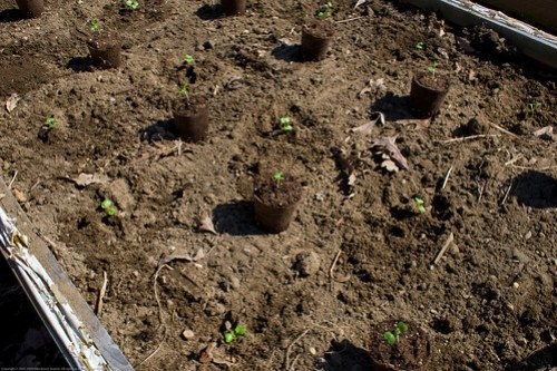 Humble Garden 2009: transplanting
