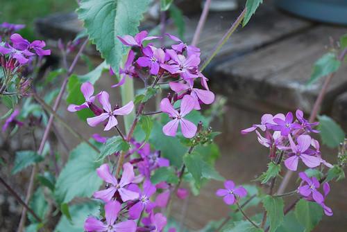 Money Plant in Bloom